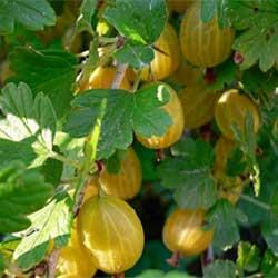 00004-Hinnomeaki-gelb-bokor-koszmete-gyumolcsfavasarlas-250x Gyümölcsfa vásárlás főoldal Gyümölcsfa Vásárlás