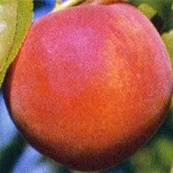 Gyümölcsfa vásárlás - Gyümölcsfa vásárlás.hu. Gyümölfák, bogyósok, különleges gyümölcsök áruháza.