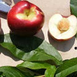 Gyümölcsfa vásárlás - Gyümölcsfa vásárlás.hu. Gyümölfák, bogyósok.