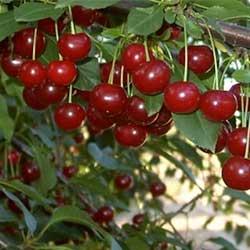 Gyümölcsfa Vásárlás